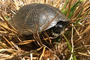 Schutz und Erhalt der Europäischen Sumpfschildkröte