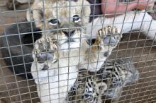 Aufgezogen für den Abschuss – Löwenfarmen in Südafrika