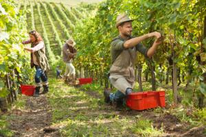 Öko-Weinbau – ökologischer Weinberg