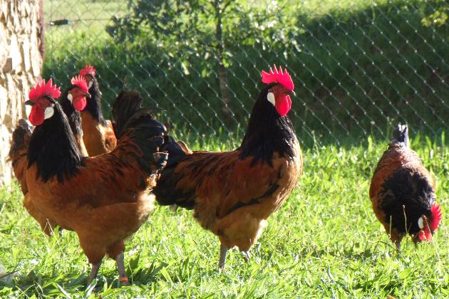 Mobiles Wohnhaus für glückliche Hühner